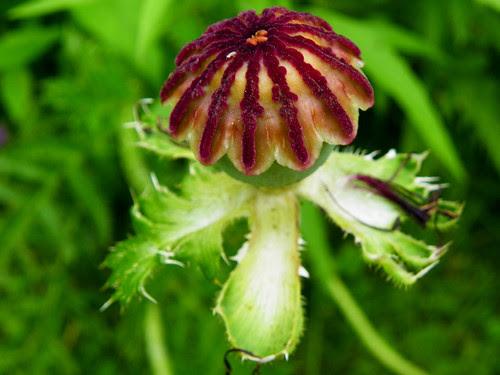 Oriental Poppy Seed Pod