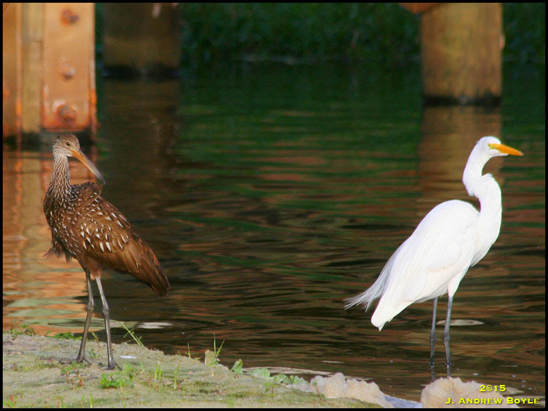 Limpkin and Great Egret