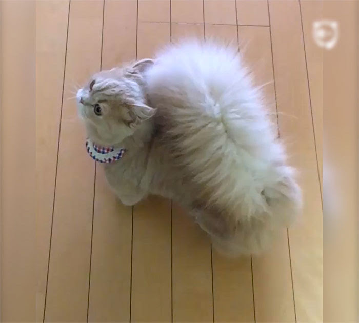 squirrel tail minuet cat bell covervideo