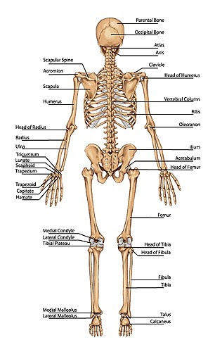 Bodyman Full Skeleton Chart with names Posterior back view2