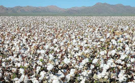 China Hoards Half of World's Cotton Supply (But It Maybe Wishes It Didn't) - Modern Farmer