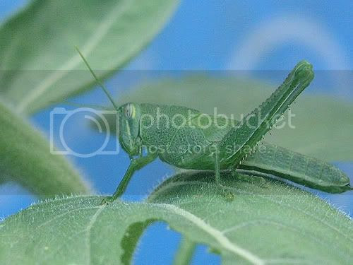 grasshopper Pictures, Images and Photos