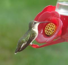 Female hummingbird tongue