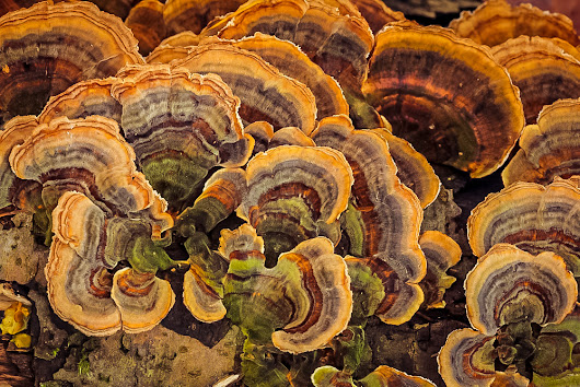 Turkey Tail: A Powerful Mushroom with Immune Boosting Benefits