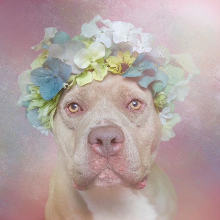flower-power-pit-bulls-dog-adoption-photography-sophie-gamand-2