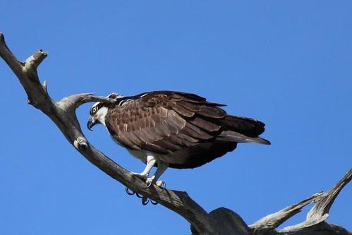 IMG_3783a_Osprey_at_Anclote_Park