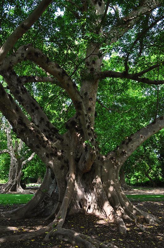 Ficus racemosa (2)