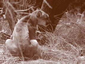 Female puma is seated in wildland close to Los Angeles.