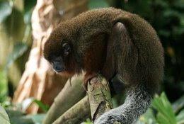 Foto: Los monos tití saben mantener una conversación educada (CLIFF/WIKIMEDIA COMMONS)