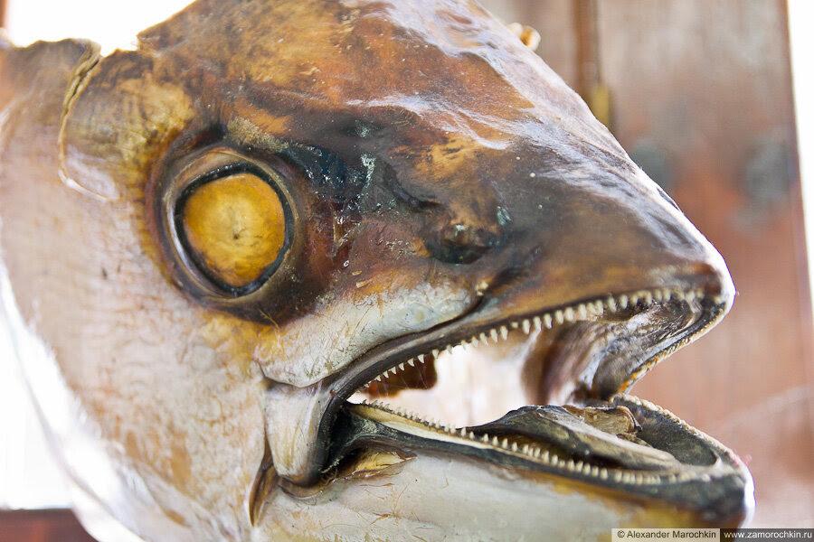 Голова рыбы в музее ракушек Корфу