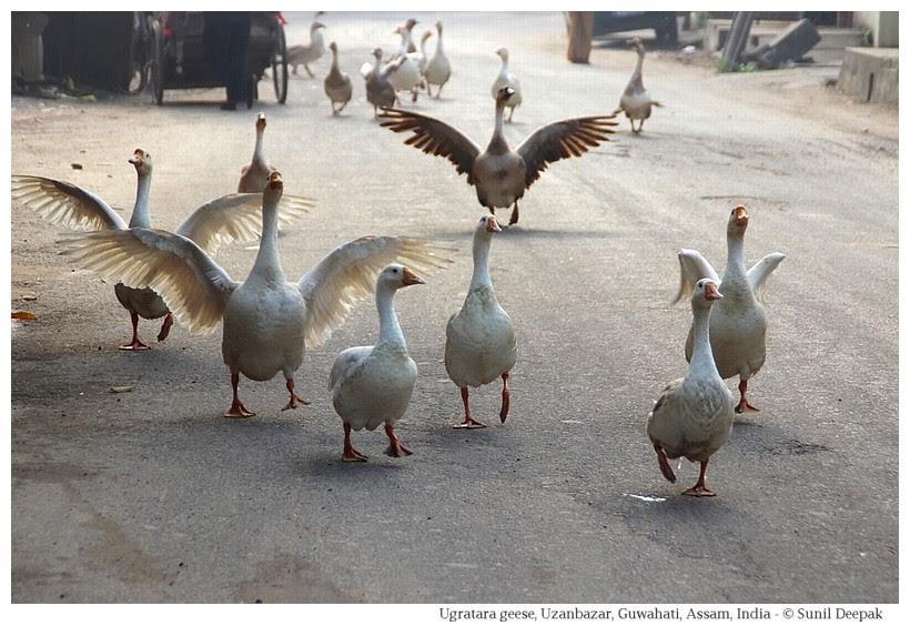 Ugratara Jorpukhuri geese, Guwahati, Assam, India