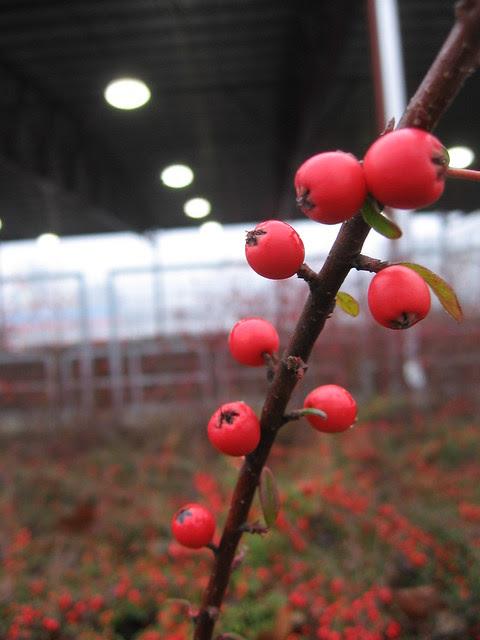 horsebarn_berries
