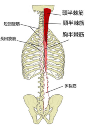 「半棘筋」の画像検索結果