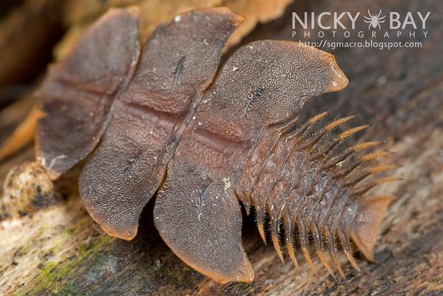 Trilobite Beetle (Duliticola sp.) - DSC_8960