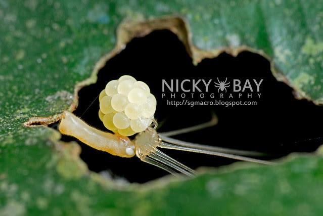 Cellar Spider (Pholcidae) - DSC_1359