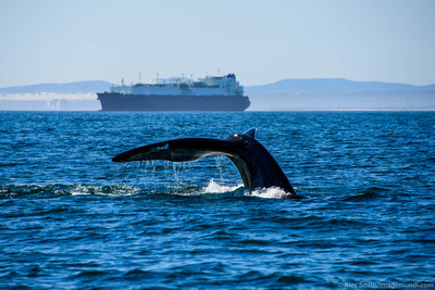 Nature | Wildlife | Fluke - Southern Right Whale