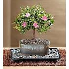 1-800 Flowers Sweet Serenity Azalea Bonsai - Plants, Small