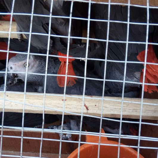 CAMEROUN :: Cameroon:Ghanaian arrested with 300 African grey parrots - Camer.be
