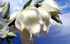 Close up yucca flowers against oncoming thunde...