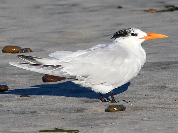 Utah Birds