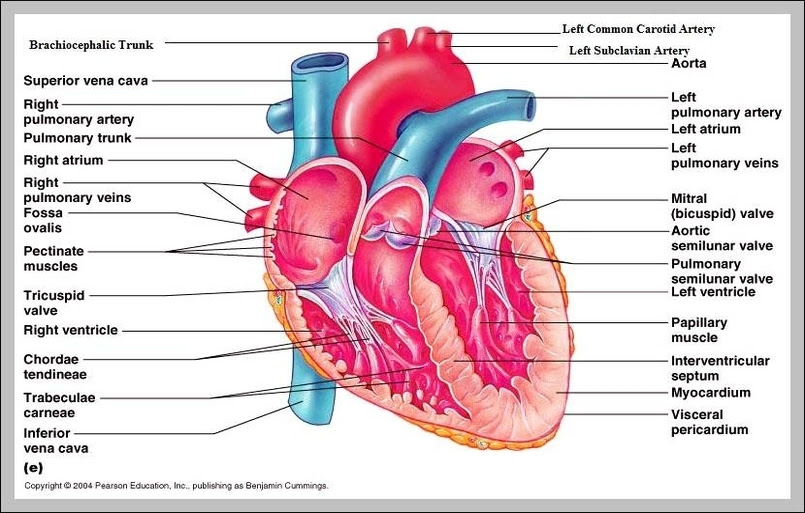 32 Label The Diagram Of The Heart