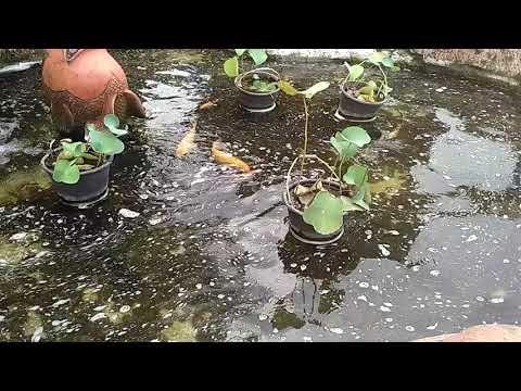 Video Kolam Ikan Emas dan Ikan Nila Aneh Dengan 2 Ekor Belakang Kembar