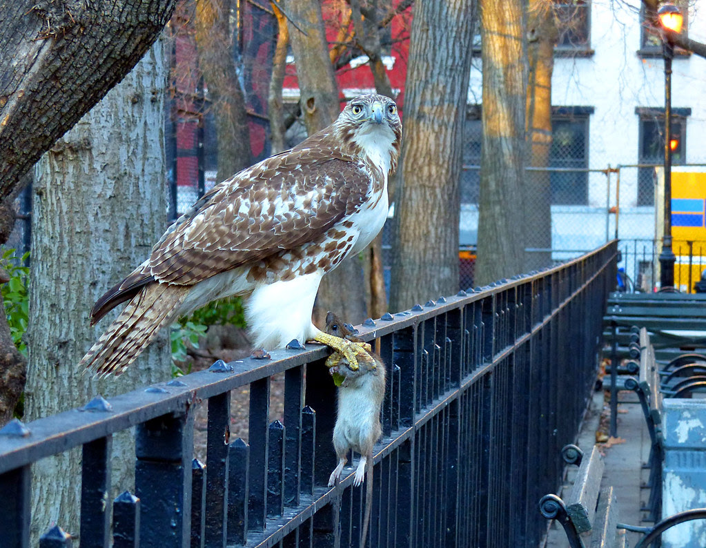 Red tail with giant rat in Tompkins Square