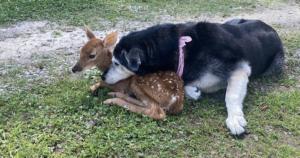 Dog Cuddles With Injured Baby Deer Until Help Arrives