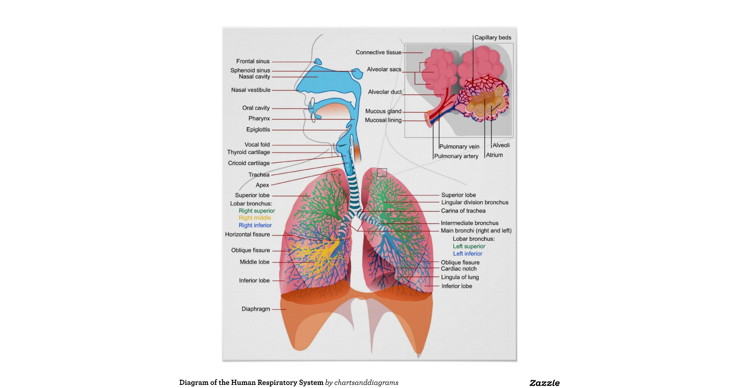 diagram_of_the_human_respiratory_system_poster ...