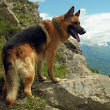 The Best Dog Food for German Shepherds of 2017 - Alicia's Online