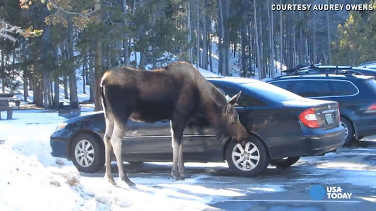 This moose has a salt tooth, not a sweet tooth