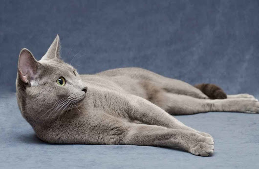 Russian Blue Cat: Size, Weight, Eyes Colors, Personality, Allergies, Lifespan - Privet, Russia! Travel Blog about culture, music, places to visit in this wonderful country
