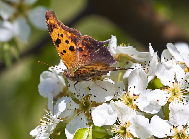 butterfly on blossoms