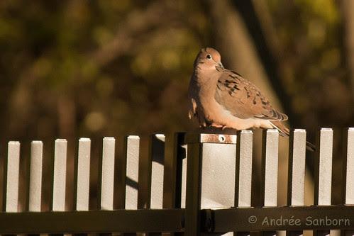Mourning Dove (Zenaida macroura)-13.jpg