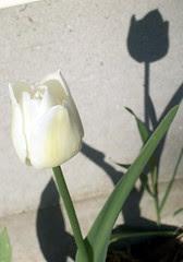Tulip_42210