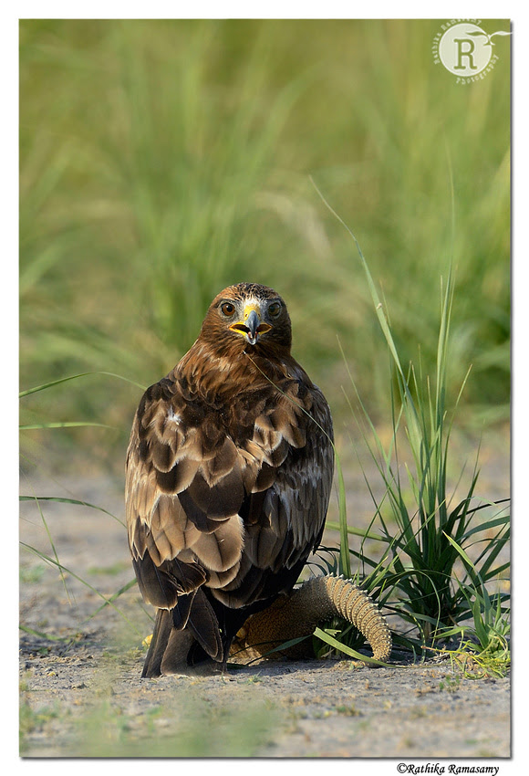 Rathika Ramasamy's Wildlife Photography: Wildlife Moments &emdash; Booted Eagle (Aquila pennata)_D4R3372