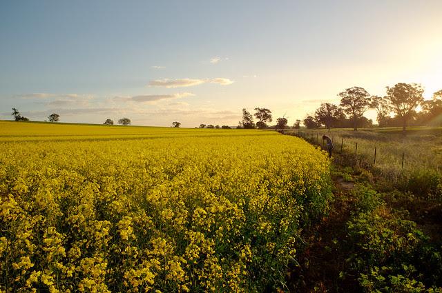 Cowra Canola Fields 004