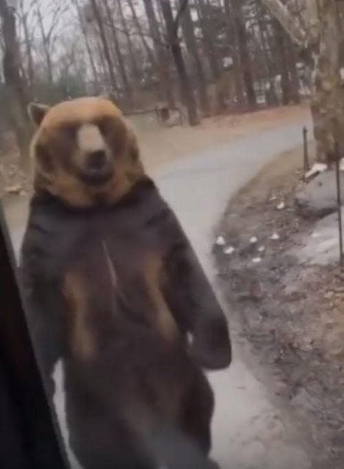 Un oso marrón es forzado a levantarse en sus patas traseras para saludar y entretener a turistas