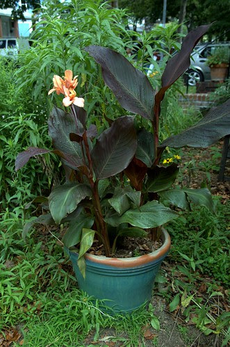 Heirloom Canna 'Mme. Paul Caseneuve'
