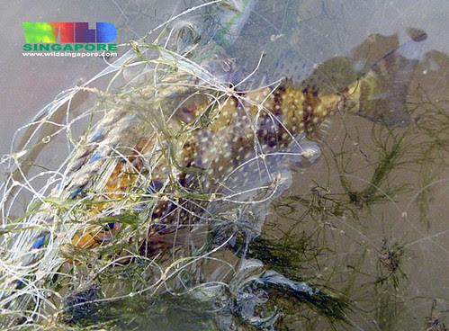 Rabbitfish (Family Siganidae) trapped in driftnet