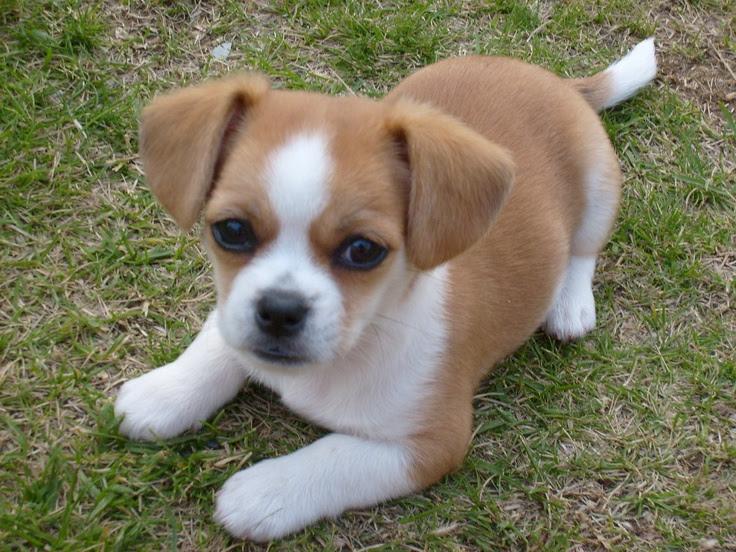 Purebred Chihuahua puppies in Nairobi | PigiaMe