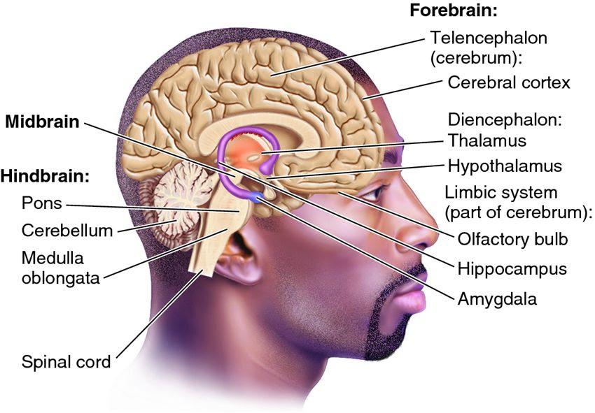 triune brain black man