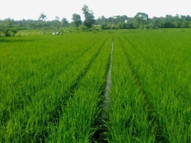 meningkatkan produksi tanaman padi dengan sistem tanam jajar legowo