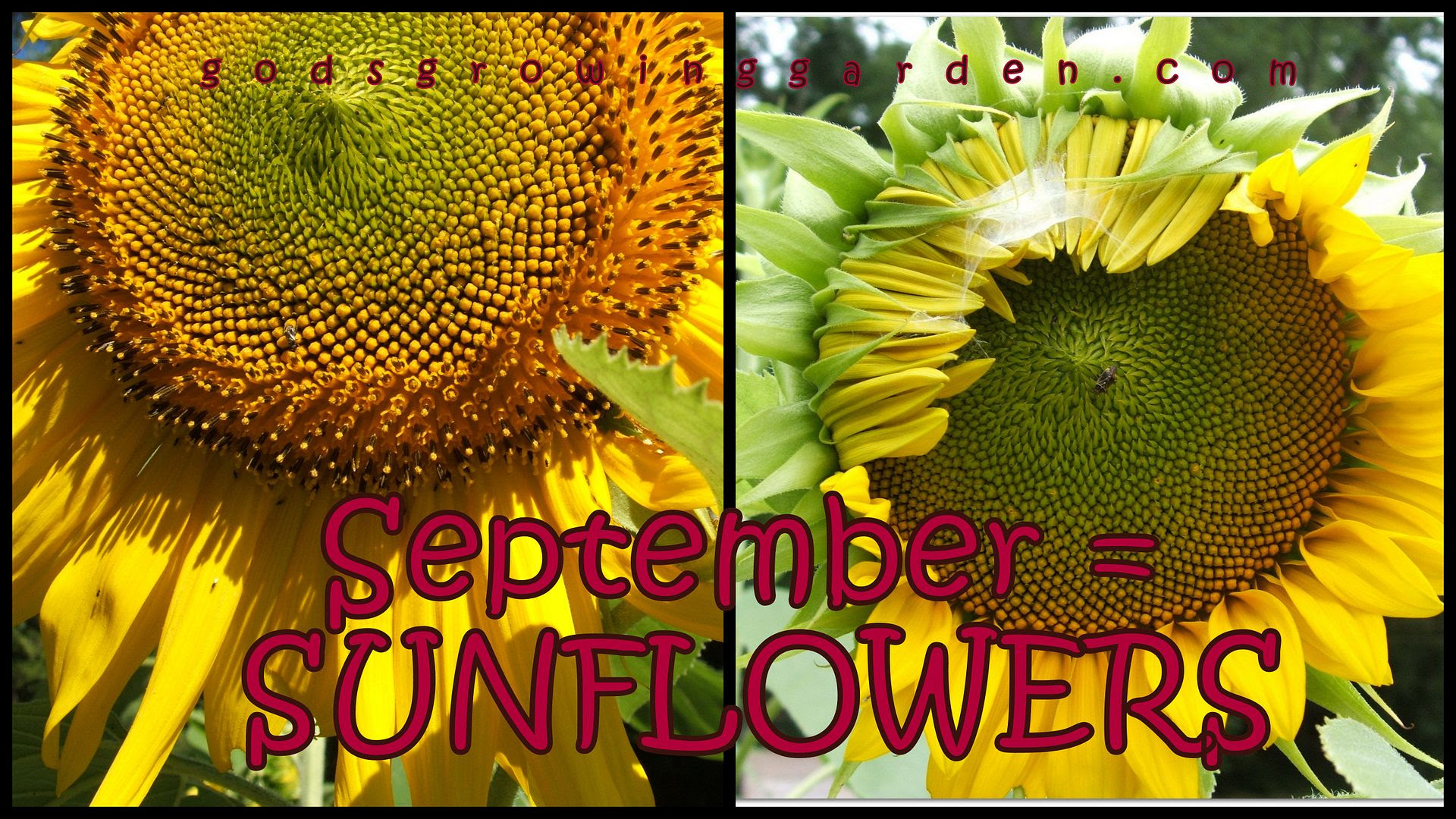 sunflowers by Angie Ouellette-Tower for godsgrowinggarden.com photo 2013-09-03_zps0eee164f.jpg