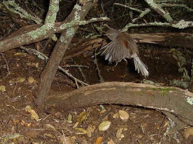 juve golden-crowned sparrow
