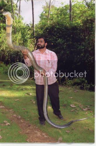 http://i723.photobucket.com/albums/ww235/infoqueenbee/king-cobra-india.jpg