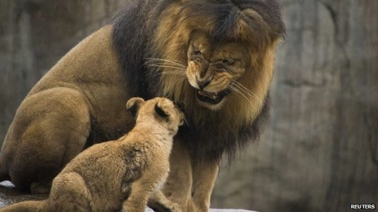 Male lions kill the cubs fathered by other lions rather than take care of them