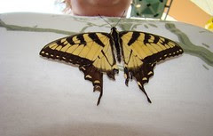 Tiger swallowtail on the boobage