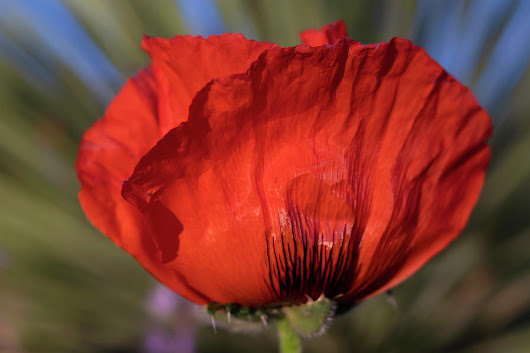 Side View Of Big Red Poppy Flower by Barbara Rogers Nature Inspired Art Photography