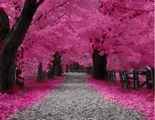 Cherry-trees-pink-blossom_large